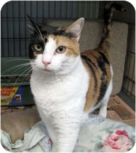 Calico Cat for Sale in New York, New York - Carla