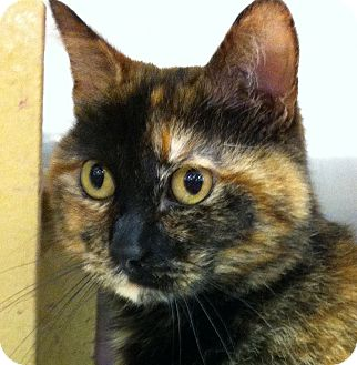 Domestic Shorthair Cat for adoption in Kansas City, Missouri - Emily