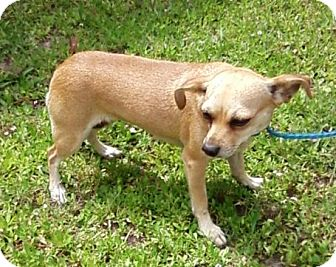 Chihuahua Mix Dog for adption in Porter, Texas - Tequila