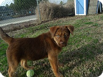 Shepherd (Unknown Type)/Chow Chow Mix Puppy for Sale in Gadsden, Alabama - Violet