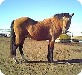 Paso Fino Mix for adoption in Eaton, Colorado - Santana