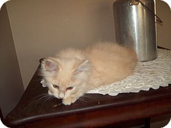 Domestic Longhair Kitten for Sale in Dover, Ohio - Sid