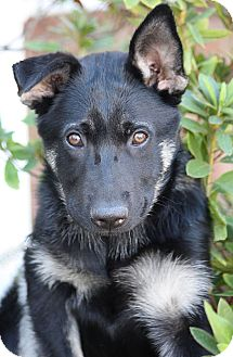 German Shepherd Dog Mix Puppy for Sale in Los Angeles, California - York von Yoda