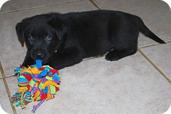 Labrador Retriever/German Shepherd Dog Mix Puppy for Sale in Minneola, Florida - Diesel
