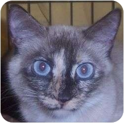Siamese Cat for Sale in Andover, Kansas - Magdalyn