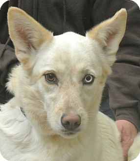 Cattle Dog/Shepherd (Unknown Type) Mix Dog for adption in white settlment, Texas - Savannah