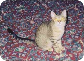 Domestic Shorthair Cat for Sale in Fayette, Missouri - Stripes