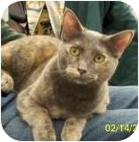 Domestic Shorthair Cat for adoption in Sacramento, California - Misty W