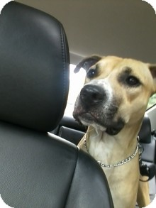 Rhodesian Ridgeback/American Staffordshire Terrier Mix Dog for Sale in selden, New York - Clancy