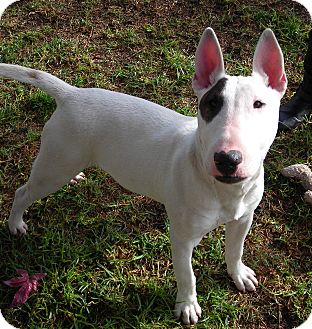 Bull Terrier Puppy for Sale in El Cajon, California - Peter