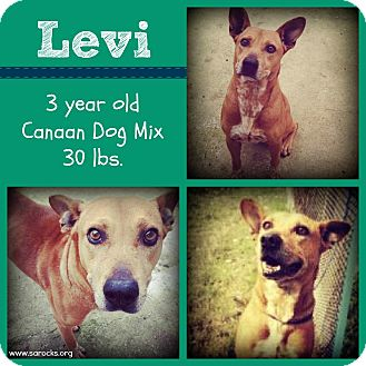 Canaan Dog Mix Dog for adption in San Antonio, Texas - Levi