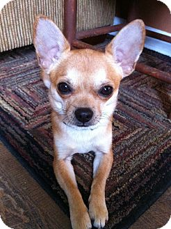 Chihuahua Dog for Sale in Chattanooga, Tennessee - Murphey