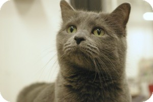 Russian Blue Cat for Sale in Sacramento, California - Zamora