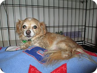 Pomeranian/Chihuahua Mix Dog for adption in Gilbert, Arizona - Tucker