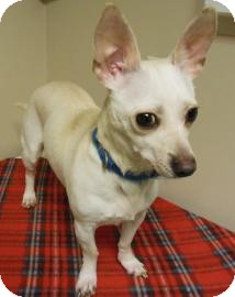 Chihuahua Mix Dog for Sale in Gary, Indiana - ChiChi