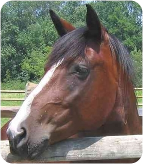 Quarterhorse/Draft Mix for adoption in Washington, Connecticut - Lacey
