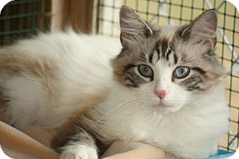 Siamese Cat for Sale in Dover, Ohio - Calypso
