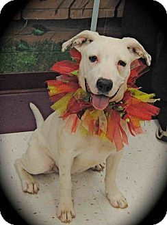 Dogo Argentino/Labrador Retriever Mix Dog for adption in Euless, Texas - Kaptivating Kaitlyn