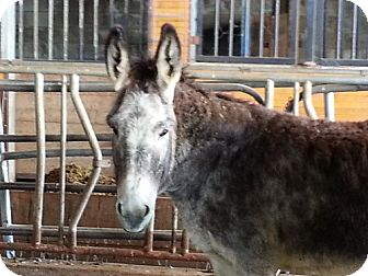Donkey/Mule/Burro/Hinny Mix for adoption in Bangor, California - shadow