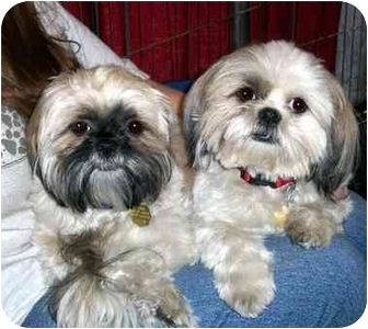 Shih Tzu Dog for Sale in Los Angeles, California - LINDSAY & SABLE