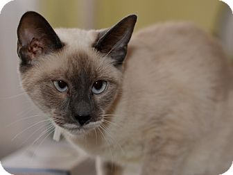 Siamese Kitten for Sale in Brooklyn, New York - Sisi