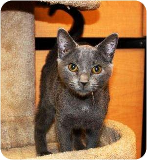 Siamese Kitten for adoption in Smyrna, Tennessee - Sebastian
