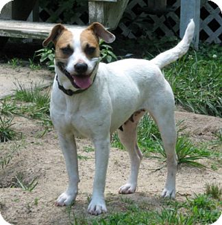 Looking for a Jack Russell Terrier/Boxer dog in Thomasville for Sale