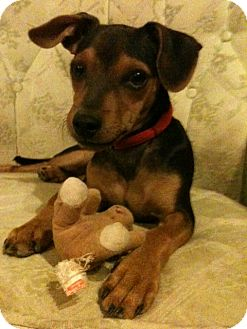 Manchester Terrier/Miniature Pinscher Mix Puppy for Sale in Phoenix, Arizona - Sonny
