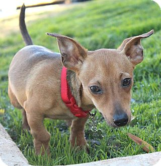 Dachshund Mix Puppy for Sale in Bellflower, California - Amos