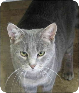 Domestic Shorthair Cat for adoption in Chesterland, Ohio - Chucky