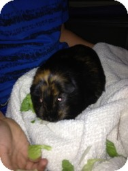 Guinea Pig for Sale in Costa Mesa, California - Tiana and Bijou