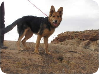 German Shepherd Dog/Border Collie Mix Dog for Sale in Roosevelt, Utah - Artemis