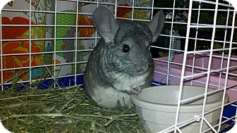 Chinchilla for Sale in Selden, New York - Babe