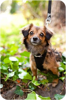 Papillon/Spaniel (Unknown Type) Mix Dog for Sale in Sherman Oaks, California - Miley
