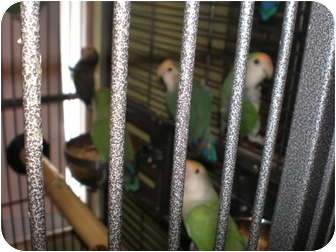 Lovebird for adoption in Neenah, Wisconsin - Lovebirds