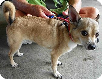 Chihuahua Mix Dog for Sale in Loudonville, New York - Levi Hector