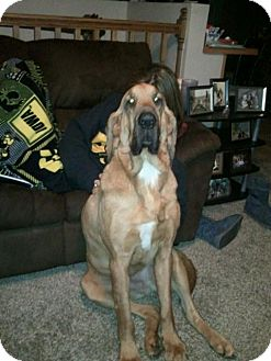 Bloodhound Dog for Sale in Cedar Rapids, Iowa - Duke