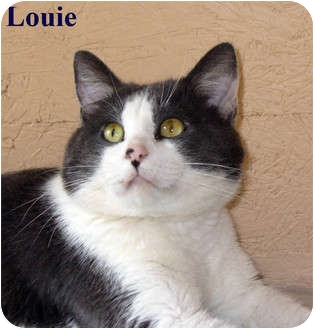 Domestic Shorthair Cat for Sale in Bentonville, Arkansas - Louie