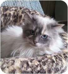 Domestic Longhair Cat for adoption in Anchorage, Alaska - Bugs