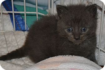 Domestic Shorthair Kitten for Sale in Oceanside, New York - Sweep and Sweela
