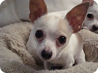 Chihuahua Dog for Sale in Romeoville, Illinois - *ADOPTED* JJ