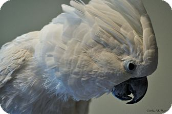 Cockatoo for Sale in Shawnee Mission, Kansas - Duncan