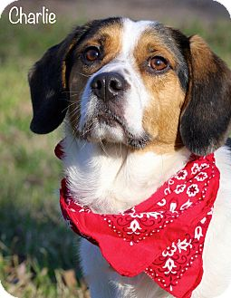 Beagle/Spaniel (Unknown Type) Mix Dog for Sale in Wilmington, Delaware - Charlie