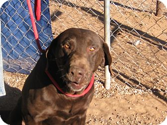 Labrador Retriever Mix Dog for Sale in Post, Texas - Sam