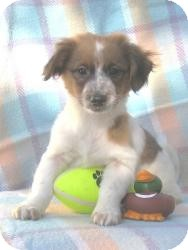 Corgi/Terrier (Unknown Type, Small) Mix Puppy for Sale in Sussex, New Jersey - Peppy