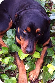 Rottweiler Dog for adption in Gilbert, Arizona - Paris