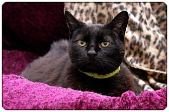 Domestic Shorthair Cat for adoption in Sterling Heights, Michigan - Gabby