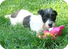 Fox Terrier (Wirehaired)/Terrier (Unknown Type, Small) Mix Dog for Sale in Foster, Rhode Island - Trixie-I'm in New England!