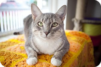 Domestic Shorthair Cat for Sale in Chesapeake, Virginia - Jazz