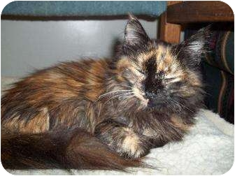 Domestic Mediumhair Cat for adoption in Falls, Pennsylvania - Phoebe-ADOPTED!!!!